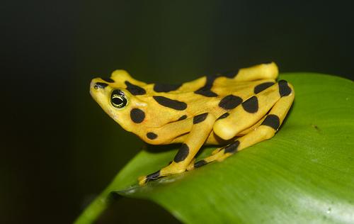 Panamanian Golden Frog, Ten Random Facts, Trivia, Animal, Amphibian, Yellow, Black,