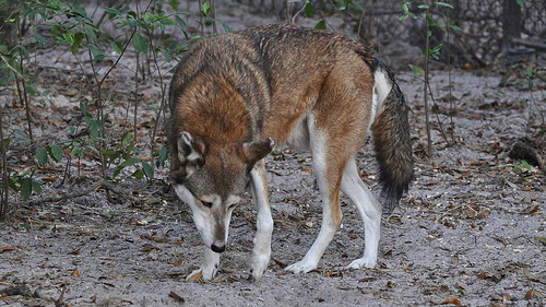 Red Wolf, Photo, Orange, Mammal, Capture, Grassy, Trivia, Ten Random Facts, Flickr, Scavenging, Sniffing