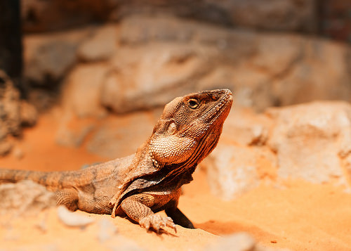 Frilled Neck Lizard, Trivia, Ten Random Facts, Animal, Reptile, Lizard, Australia, Unflared, Resting, Bathing