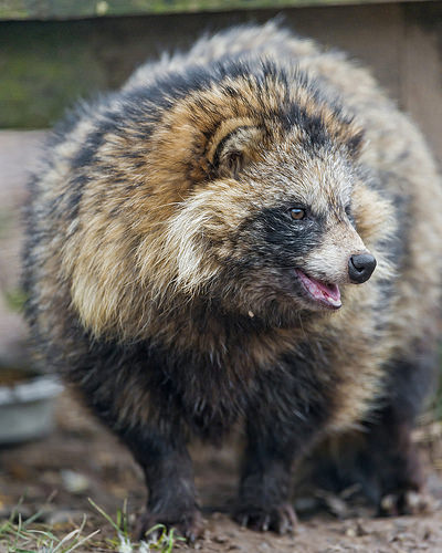 raccoon dog hd image
