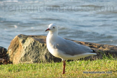 Silver Gull, Animal, Bird, Trivia, Random Facts, Australia, Seagull, Grass, Water