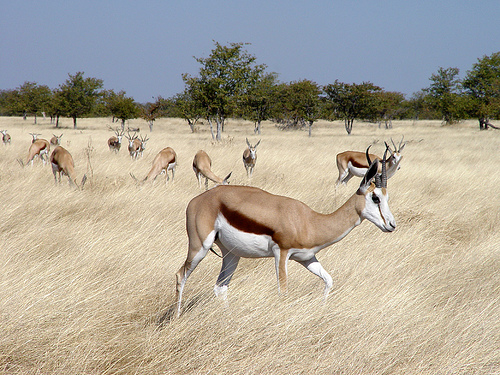 Springbok, Trivia, Ten Random Facts, Animal, Antelope, Mammal, Africa, Brown