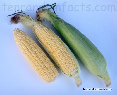 Sweet Corn, Yellow, Green, Trivia, Ten Random Facts, Food, Maize, Culinary, Cob