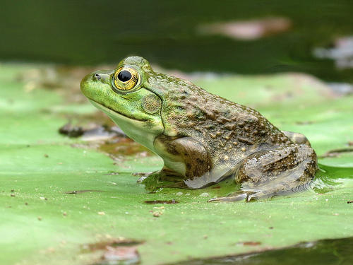 American Bullfrog, Animal, Amphibian, America, Green, Brown, Lillypad,