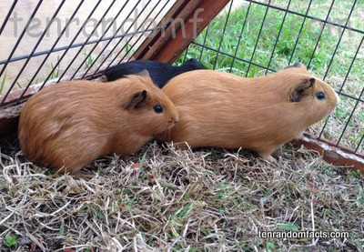 Guinea Pig, Pet, Domestic, Trivia, Rodent, Mammal, Animal, Brown, Black,
