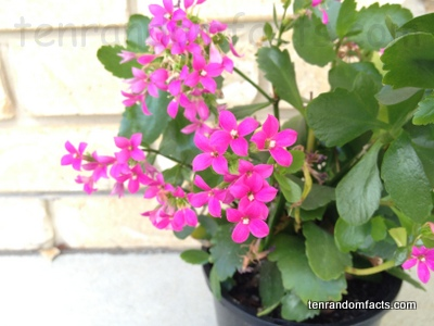 Kalanchoe Blossfeldina, Vegetation, Flower, Trivia, Ten Random Facts, Pink