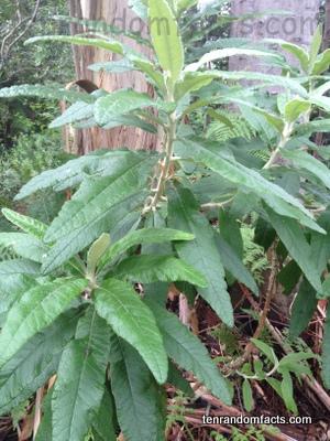 Blanket Leaf, Trivia, Ten Random Facts, Vegetation, Plant, Green, Australia