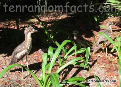 Bush Stone-Curlew, Trivia, Ten Random Facts, Bird, Statue, Australia, Animal