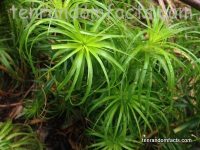 Candle Heath, Trivia, Plant, Trivia, Ten Random Facts, Vegetation, Greenery, Australia