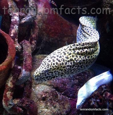 Laced Moray, Trivia, Ten Random Facts, Eel, Fish, Animal, Honeycomb, Tessellated, Coral, SEALIFE, Melbourne, Australia, Aquarium