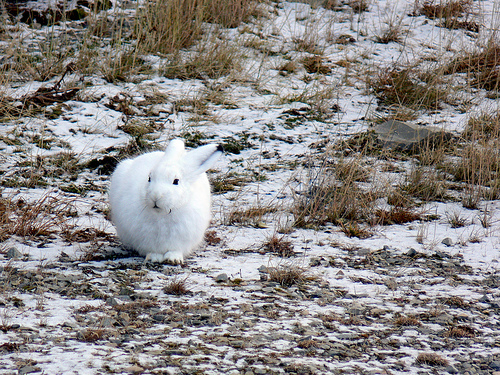 Artic Hare, Rabbit, Animal, Trivia, Ten Random Facts, White, Fluffy, Lepus