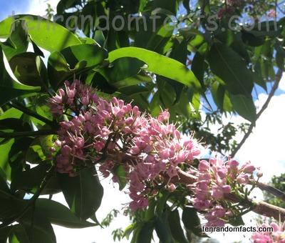 Evodia, Trivia, Ten Random Facts, Pink, Flower, Vegetation, Plant, Australia