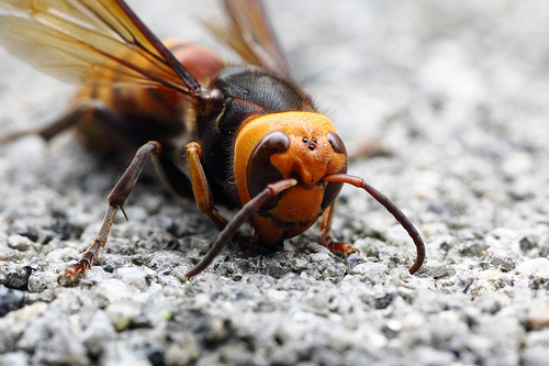 Giant Asian Hornet, Trivia, Bug, Ten Random Facts, Bee, Yellow, Black, Striped, Dead