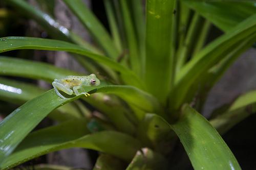 Grainy Cochran Frog, Trivia, Ten Random Facts, Amphibian, Animal, Green, Organs, Single, Small