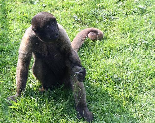 Woolly Monkey, Trivia, Ten Random Facts, Animal, Mammal, Fur, Grass, Single