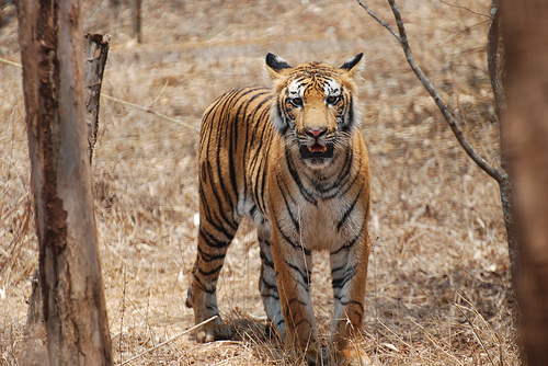 Bengal Tiger, Trivia, Ten Random Facts, Animal, Mammal, India, Orange, Black, Felid, Cat