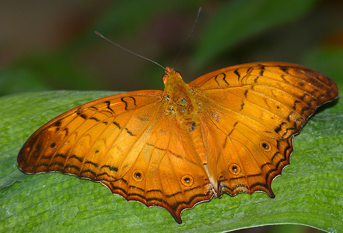 Cruiser Butterfly, Insect, Animal, Orange, Male, Bright, Wingspan, Rest, Malaysia