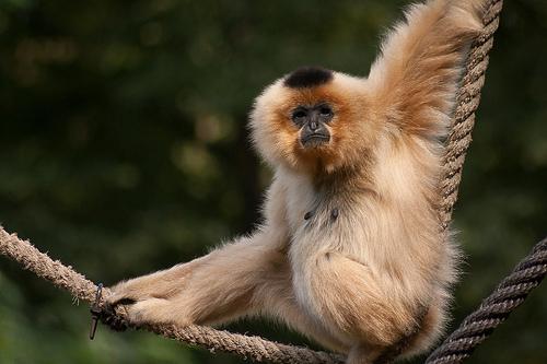 Gibbon, Animal, Trivia, Ten Random Facts, Monkey, Mammal, Captive