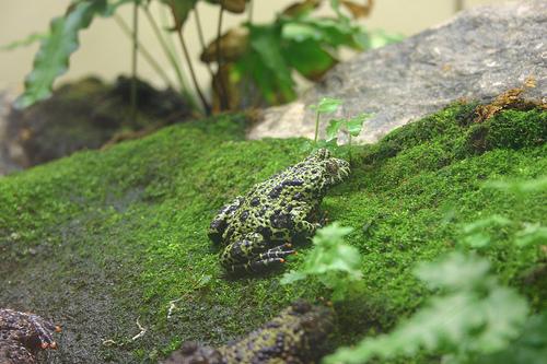 Oriental Fire-bellied Toad, Green, Amphibian, Frog, Trivia, Ten Random Facts, Small, Overside