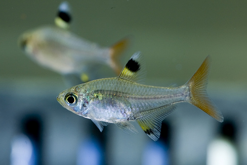 X-Ray Tetra, Fish, Trivia, Ten Random Facts, Transparent, Species, Animal
