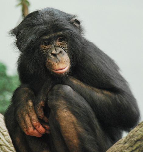 Bonobo, Monkey, Trivia, Ten Random Facts, Primate, Black, Chimp,