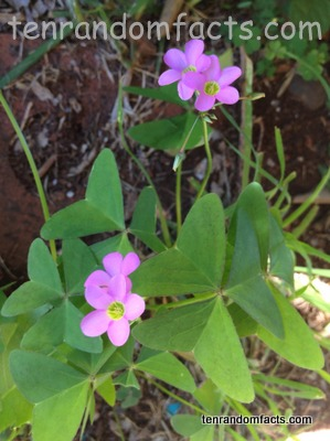 Fishtail Oxalis, Trivia, Purple, Herb, Flower, Vegetation, Ten Random Facts, Australia