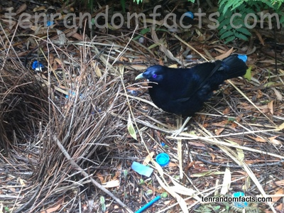 Satin Bowerbird, Trivia, Ten Random Facts, Bird, Animal, Australia, Male, Blue