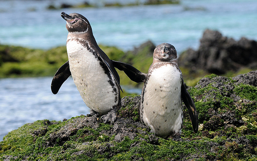 Galapagos Penguins, Animal, Bird, Trivia, Ten Random Facts, Island, Two,