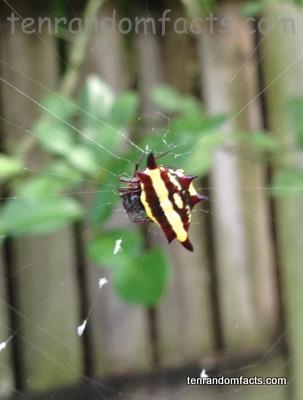 Northern Jewelled Spider, Trivia, Ten Random Facts, Bug, Yellow, Brown, Australia, Queensland