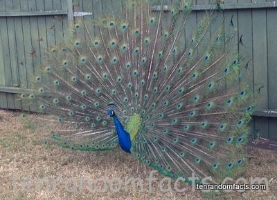Peacock, Trivia, Ten Random Facts, Animal, Bird, Green, Blue, Indian