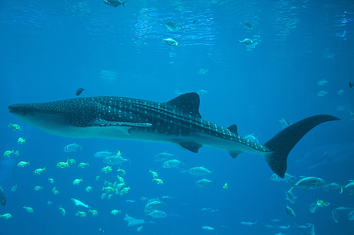 Whale Shark, Trivia, Ten Random Facts, Sea, Ocean, Fish, Large,