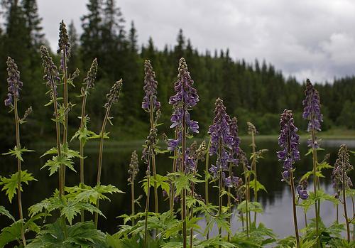 Wolfsbane, Toxic, Poisonous, Vegetation, Trivia, Ten Random Facts, Purple, Clusters, Scene, River