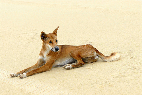 Dingo, Trivia, Ten Random Facts, Animal, Australia, Beach, Orange, Sandy, Canine,