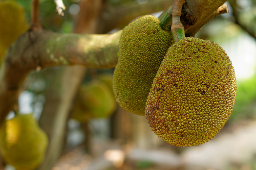 Jackfruit, Trivia, Ten Random Facts, Fruit, Vegetation, Hanging, Yellow, Exotic, Culinary, Food