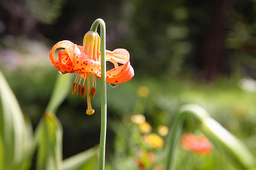 Leopard Lily, Trivia, Ten Random Facts, Vegetation, Flower, Orange, Droop, Pretty, Green