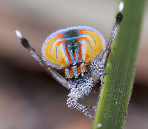 Peacock Spider, Trivia, Ten Random Facts, Colourful, Dance, Animal, Small, Arachnid, Orange, Courting, Male