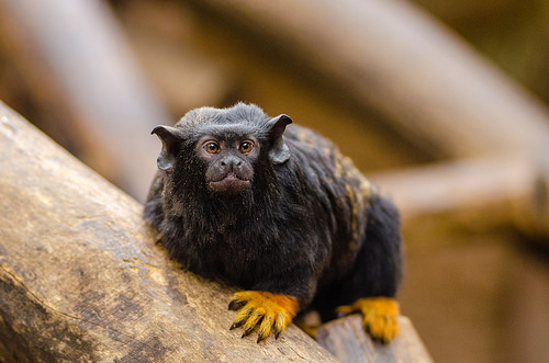Red-handed Tamarin, Trivia, Ten Random Facts, Gold, Monkey, Primate, Animal