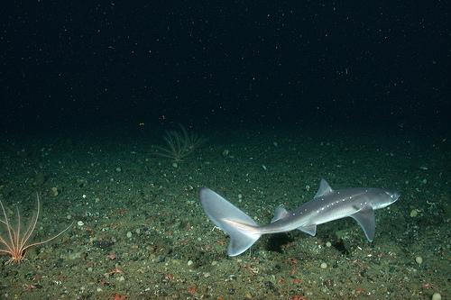 Spiny Dogfish, Trivia, Ten Random Facts, Fish, Shark, Animal, Aquatic, Small