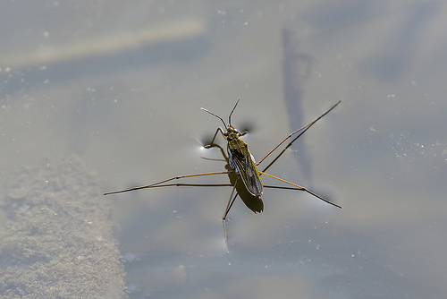 Common Pond Skater, Trivia, Ten Random Facts, Animal, Insect, Water, Brown