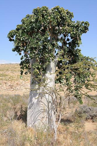 Cucumber Tree, Vegetation, Trivia, Random Facts, Socotra, Plant, Trunk