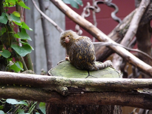 Pygmy Marmoset, Primate, Animal, Mammal, Small, Trivia, Random, Facts
