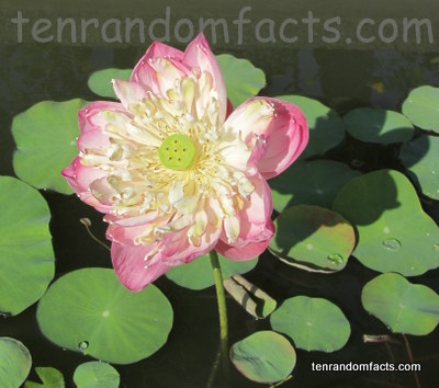 Sacred Lotus, Plants, Vegetation, Flower, Pink, Trivia, Random Facts, Water, Aquatic