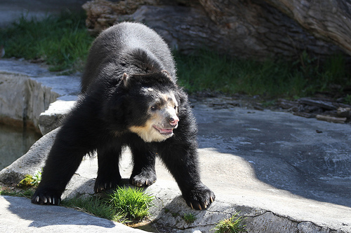 Spectacled Bear, Buffalo Zoo, Splits, Trivia, Ten Random Facts, Mammal, Animal,