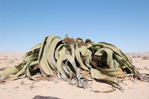 Tree Tumbo, Plant, Trivia, Ten Random Facts, Africa, Desert, Welwitschia, Namibia , ugly, exotic
