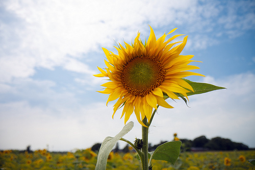 Common Sunflower, Trivia, Ten Random Facts, Yellow, Large, Bright, Field, Plant,