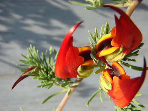 Parrot's Beak, Flower, Red, Yellow, Group, Trivia, Ten Random Facts, Flower, Vegetation, Canary Islands