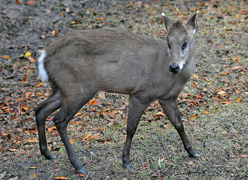 Tufted Deer, Trivia, Ten Random Facts, Mammal, Animal, Grey