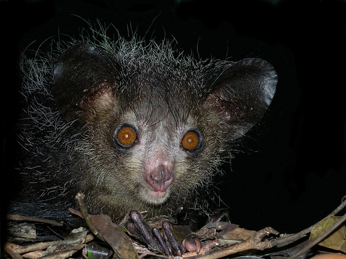 Aye-Aye, Trivia, Ten Random Facts, Animal, Primate, Monkey, Creepy, Nocturnal, Primate