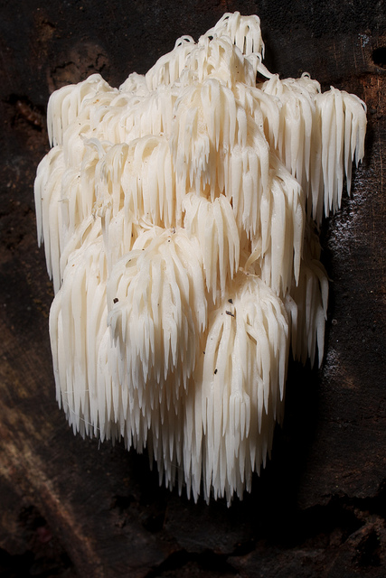 Bear's Head Tooth Fungus, White, America, Trivia, Ten Random Facts, Plant, Vegetation, Parasite, Droop