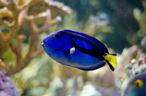 Blue Tang, Trivia, Ten Random Facts, Yellow, Blue, Fish, Finding Dory, Coral